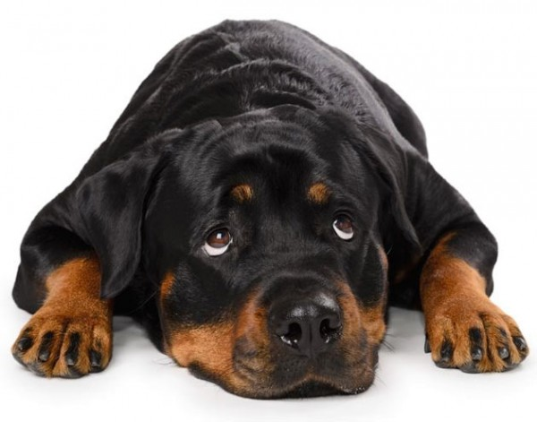 rottweilers-temperament